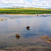 3-lay Of Land Grizzly Bears In Moraine River In Katmai National Preserve-ak Poster
