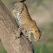 Leopard Panthera Pardus On Tree, Ndutu Poster