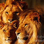 Lion Family Close Together Poster