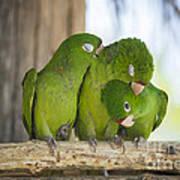 3 Love Birds -206 Poster