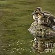 Mallard Duckling Poster