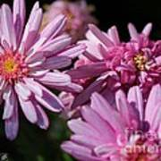 Marguerite Daisy Named Double Pink Poster