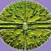 Micrasterias Desmid, Light Micrograph Poster