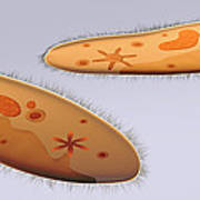 Microscopic View Of Paramecium Poster by Stocktrek Images