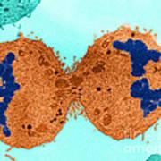 Mitosis, Late Telophase, Tem Poster