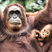 Mother And Baby Orangutan Borneo Poster