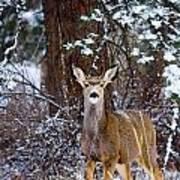 Mule Deer In Snow Poster