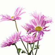 Mums Flowers Against White Background Poster