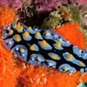 Nudibranch Poster