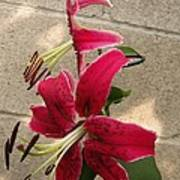 Orienpet Lily Named Scarlet Delight Poster