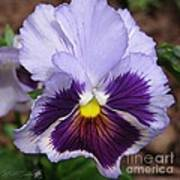 Pansy From The Chalon Supreme Primed Mix Poster