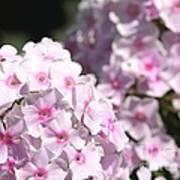 Phlox Paniculata Named Bright Eyes Poster