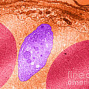 Platelet And Red Blood Cells, Tem Poster
