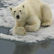 Polar Bear Resting On Ice Poster