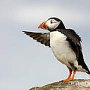 Puffin On The Farne Islands Great Britain Poster