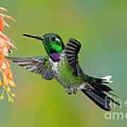 Purple-bibbed Whitetip Hummingbird Poster