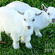 Pygmy Goat Twins Poster by Thomas R Fletcher