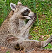 Raccoons Poster