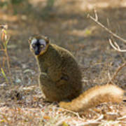 Red-fronted Brown Lemur Poster