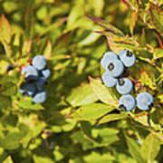 Ripe Maine Low Bush Wild Blueberries Poster