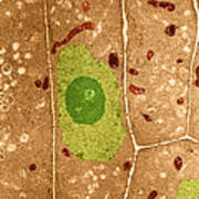 Root Cells Of Plant Tem Poster