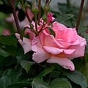 Rose Of Summer Poster