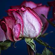 Rose Still Life Poster