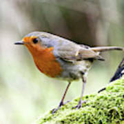Rouge Gorge Erithacus Rubecula Poster