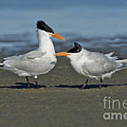 Royal Terns Poster
