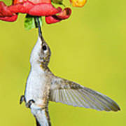 Ruby-throated Hummingbird Female Poster