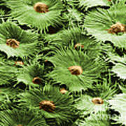 Russian Silverberry Leaf Sem Poster