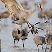 Sandhill Cranes Dancing On The Platte Poster