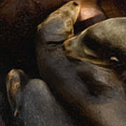3 Sea Lions Poster
