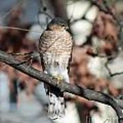 Sharp-shinned Hawk 2 Poster