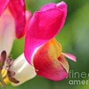 Snapdragon Named Floral Showers Red And Yellow Bicolour Poster