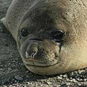 Southern Elephant Seal  Poster