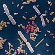 Species Of Bacteria Poster