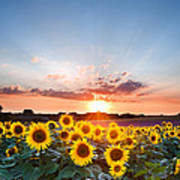 Sunflower Summer Sunset Landscape With Blue Skies Poster
