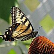 Swallowtail On Coneflower Poster