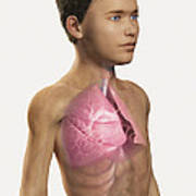 The Lungs Within The Body Pre-adolescent Poster