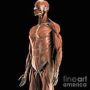 The Muscles Of The Upper Body Poster