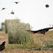 Turkey Vultures Poster