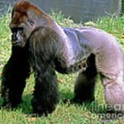 Western Lowland Gorilla Silverback Poster