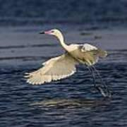 White Morph Redish Egret Poster