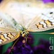 White Peacock Anartia Jatrophae Poster