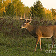 White-tailed Buck In Fall Poster