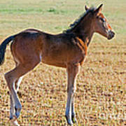 Wild Horse Foal Poster