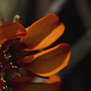 Wiliwili Flowers - Erythrina Sandwicensis - Kahikinui Maui Hawaii Poster