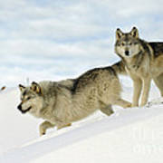Wolves In Winter Poster