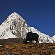 Yaks Grazing In A Himalayan Valley Poster